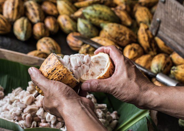 Ternyata Kota Ini Penghasil Kakao Terbaik Di Indonesia. Kotamu Termasuk…??